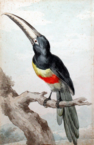 A Black-Necked Araçari