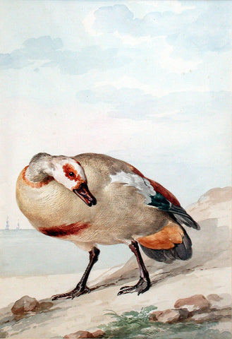 An Egyptian Goose on the Shore