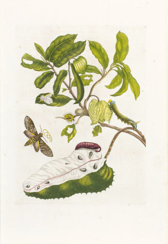 Soursop with Sphinx Moth