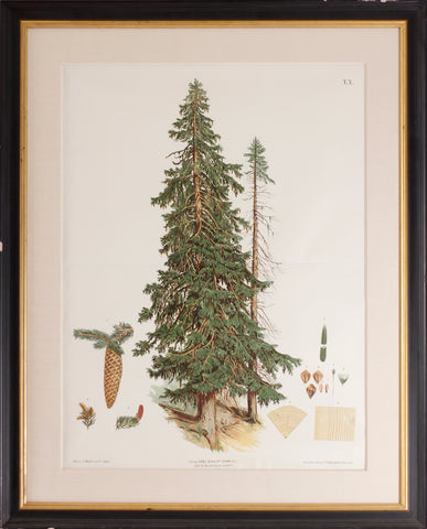 The Spruce or Red Fir