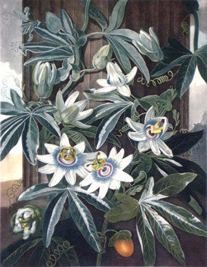 The Blue Passion Flower