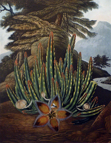 The Maggot-bearing Stapelia
