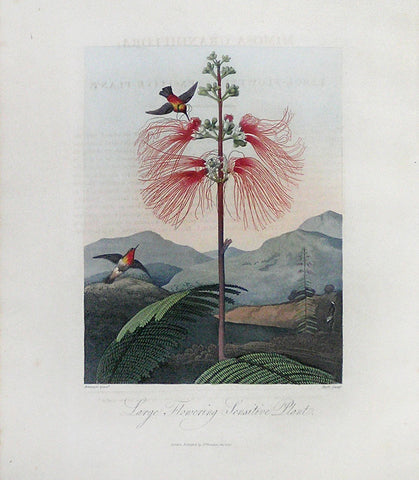 Large Flowering Sensitive Plant