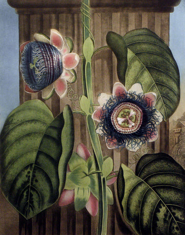 The Quadrangular Passion-Flower
