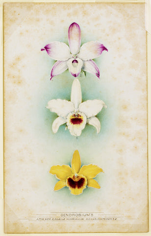 Dendrobium's: The Gem, Nobile Winnianum, Chesingtonese