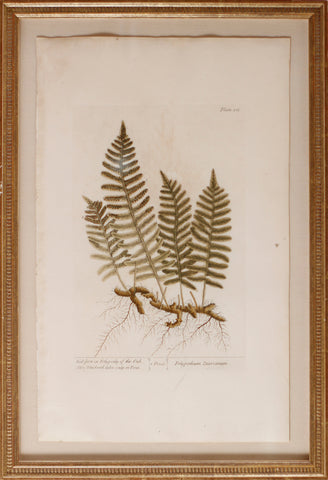 Wall-fern or Polypody of the Oak