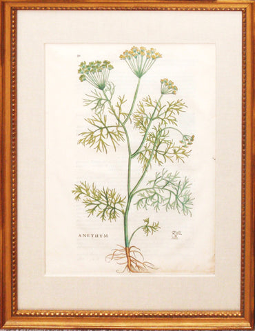 Anethum (Dill Plant)