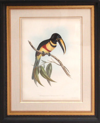 Pteroglossus Piecilosternus  (Double-breasted Aracari)