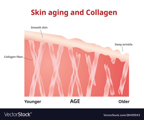 Collagen and ageing