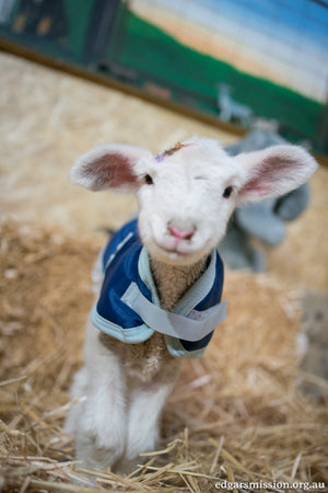 A rescue lamb's experience of the COVID pandemic.