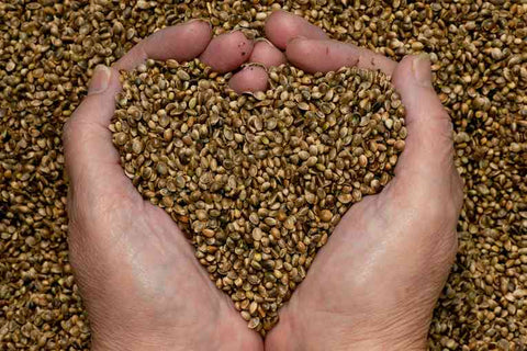 Hemp CBD seeds in hands