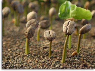 Coffee Seedlings via CoffeeResearch