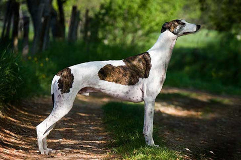 Greyhounds can run upto a speed of 45mph