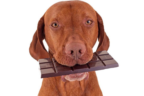 Chocolate is toxic to dogs