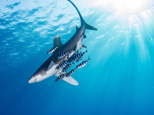 Techniques for Photographing Sharks