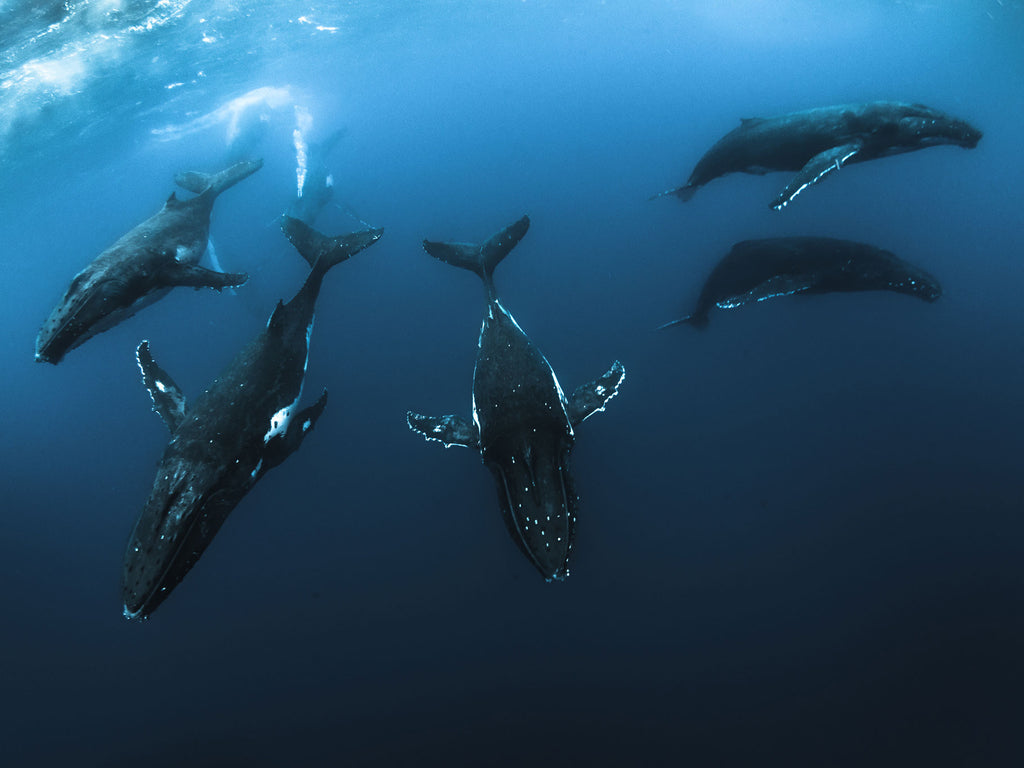 Planning a Trip to Tonga to Swim with Humpback Whales