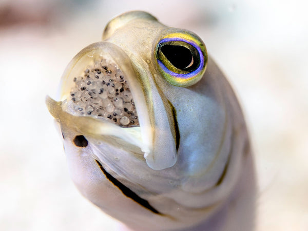Capturing the Elusive Mouth Brooding Jawfish