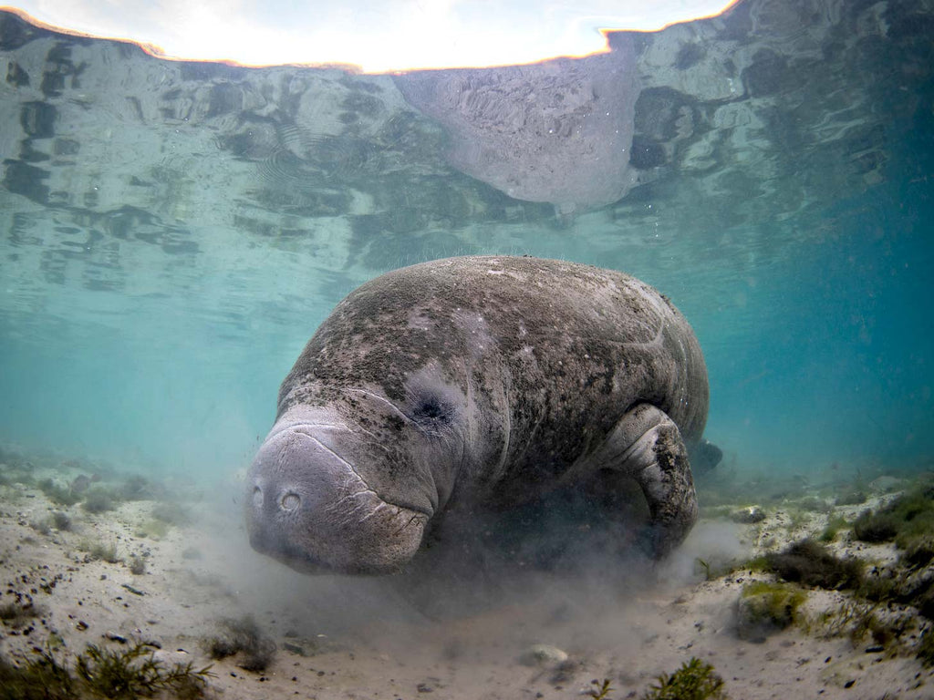 Manatee Photography Underwater Camera Settings