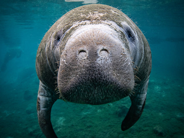 7 Tips for Photographing Florida Manatees
