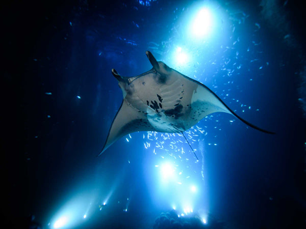 Shooting Manta Rays at Night Without Strobes