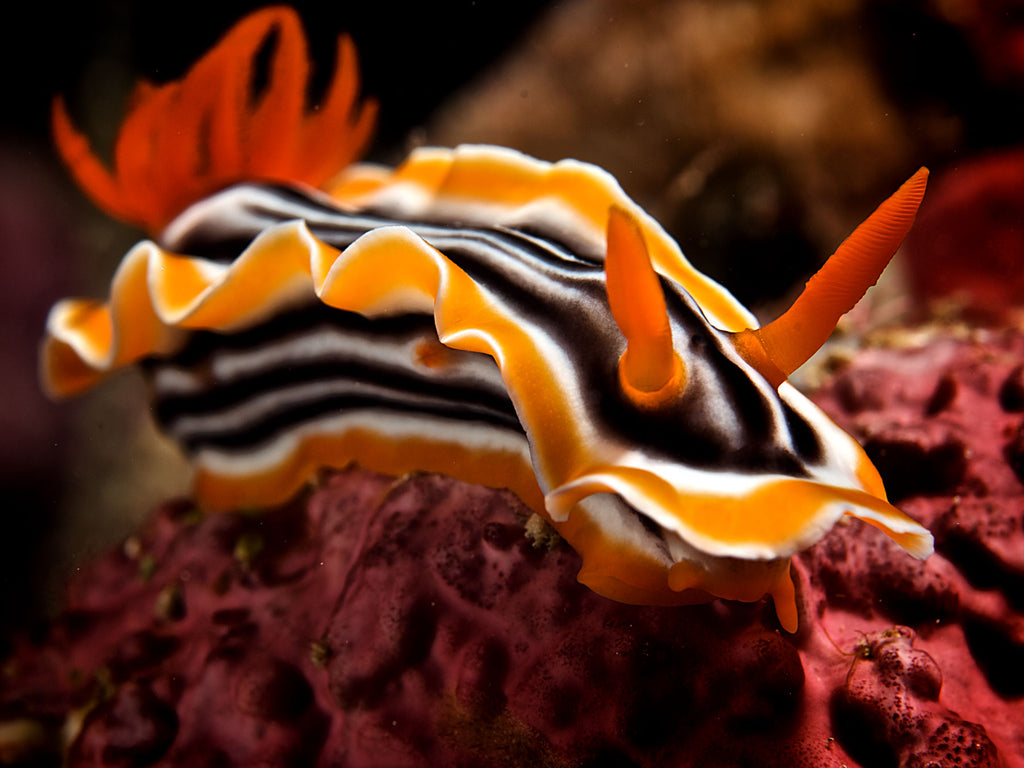 Nudibranch Underwater Camera Settings and Technique
