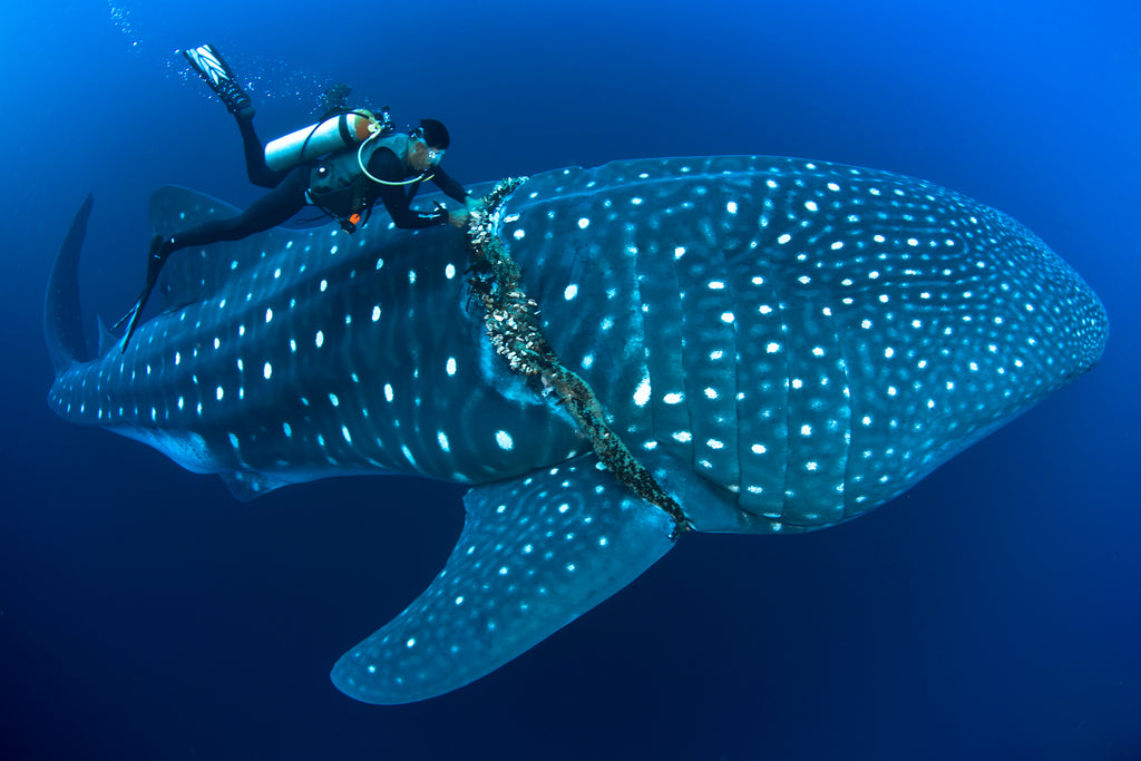 Whale Shark Copyright David Valencia