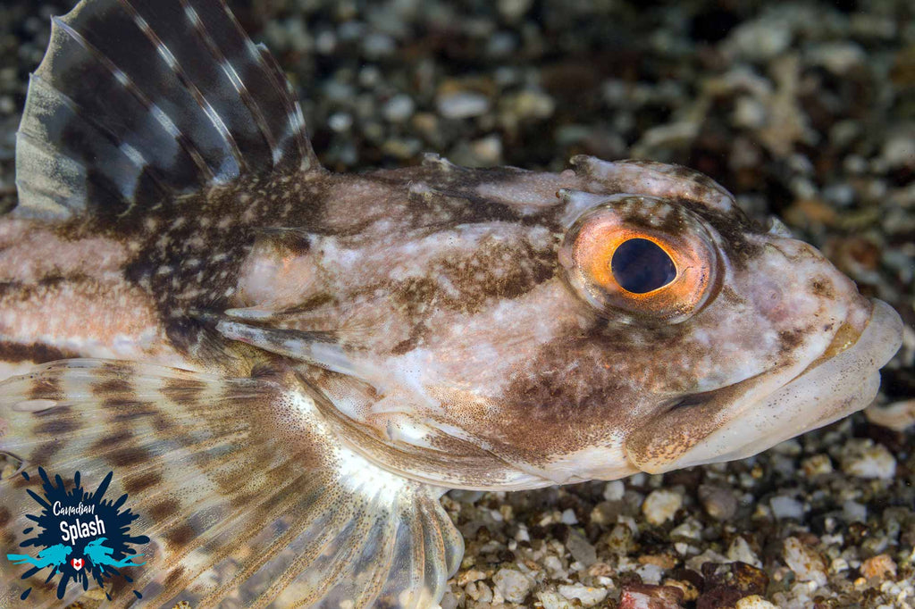 Orange Eyed Sculpin copyright Ali Postma Ikelite Housing