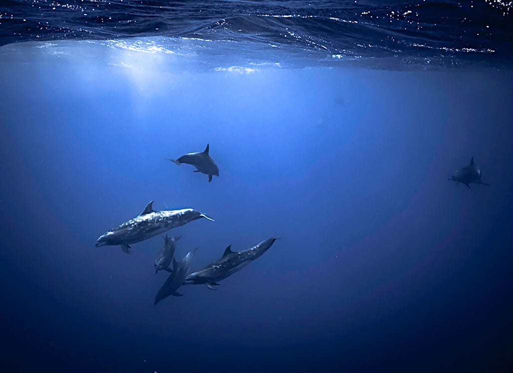 Dolphins in the Pacific Copyright Adam Hill