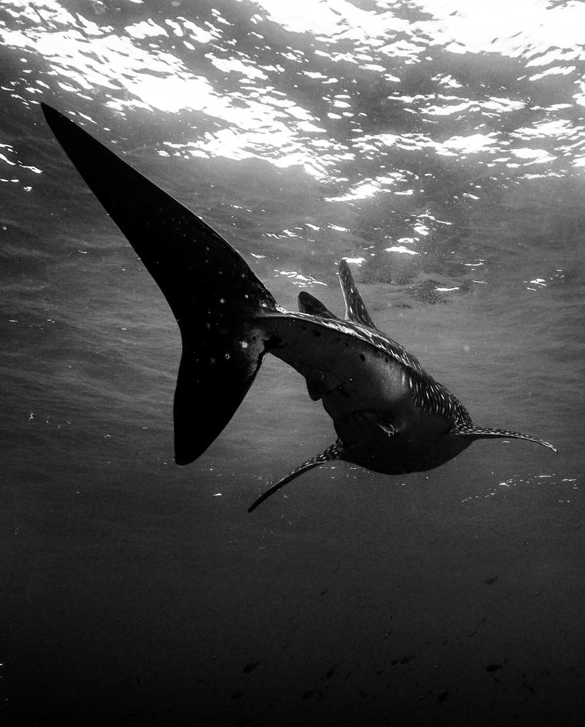 Whale Shark by Claude Evangelista Ikelite Housing Sony A7