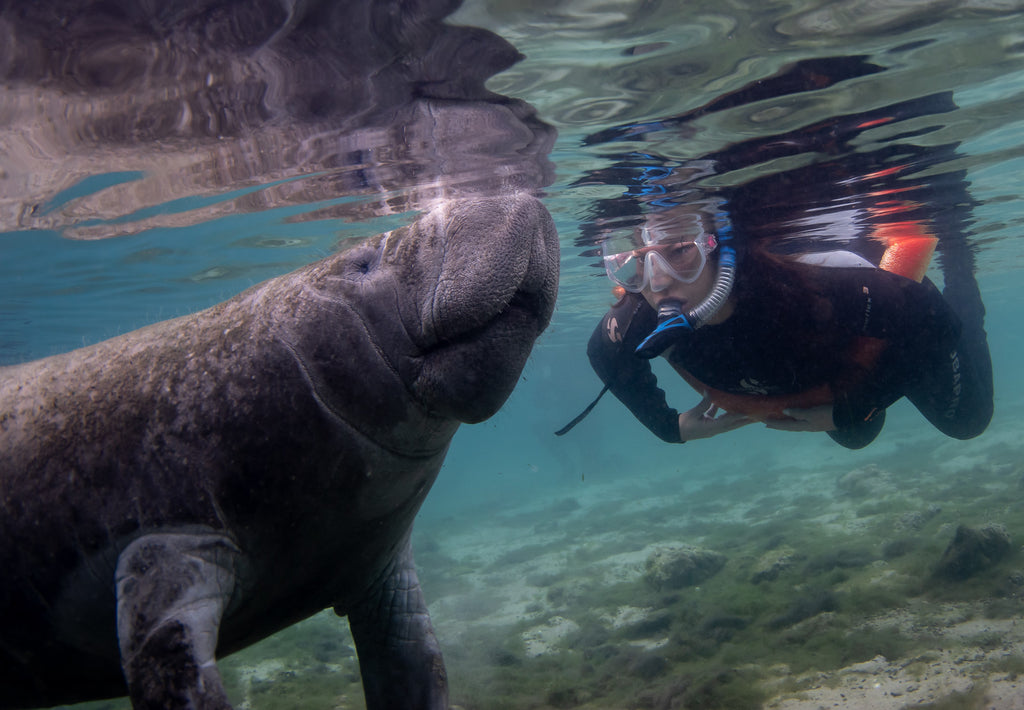 Photographing Manatees Crystal River Florida Ikelite Housing