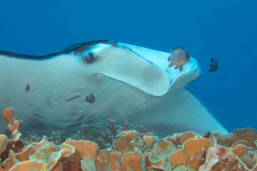 Manta ray at cleaning station in Yap by David Fleetham