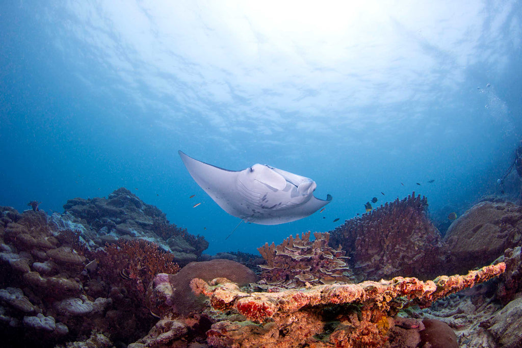 Manta ray over the reef by David Fleetham