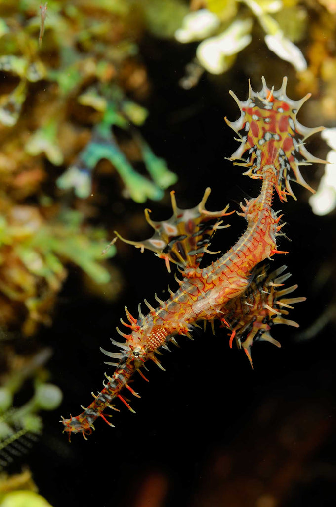 Ornate Ghost Pipefish Copyright David Stealey Ikelite Housing