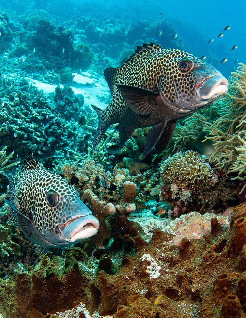 Spotted Sweetlips Copyright David Stealey Ikelite Housing