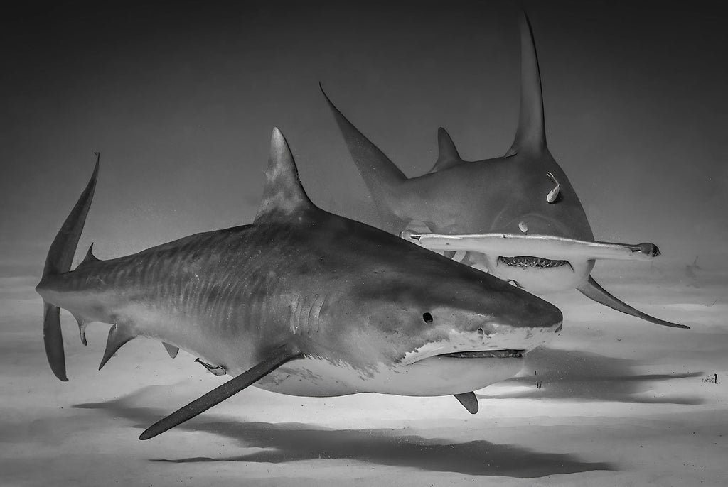 Tiger shark and Great Hammerhead copyright Glenn Ostle Ikelite Housing