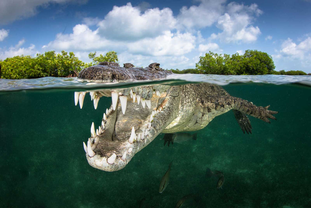 Crocodile Smile Copyright Grant Thomas