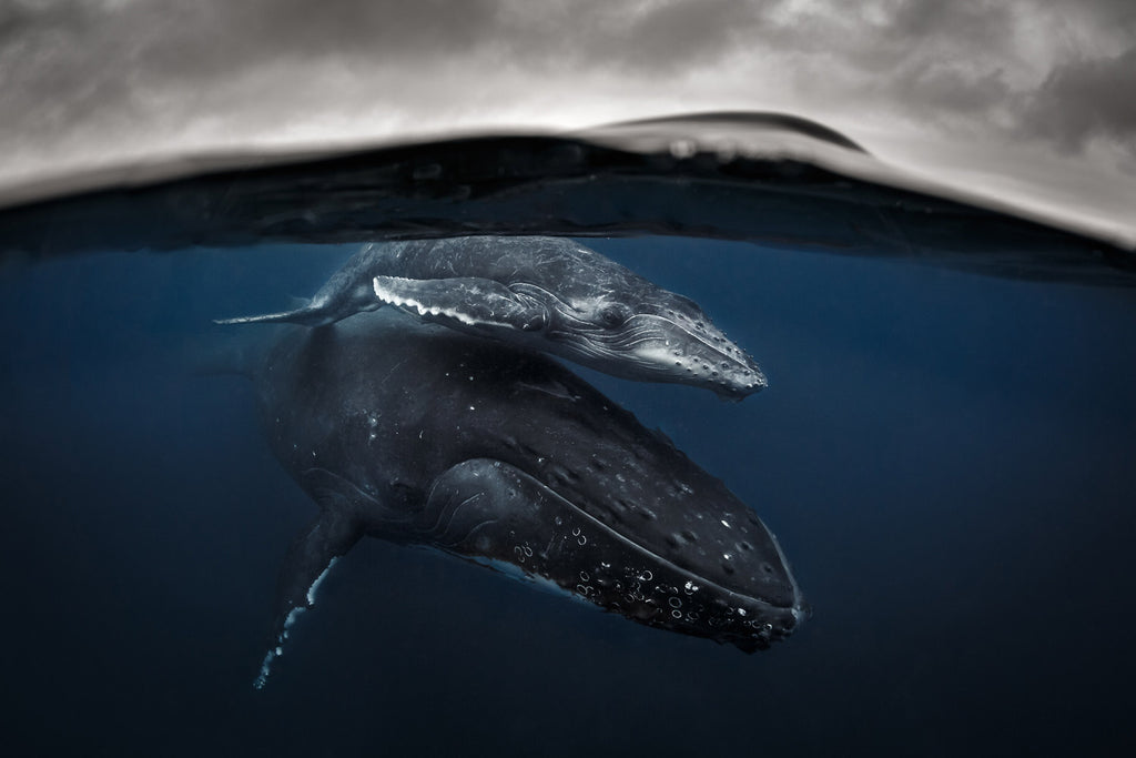 Humpback mother and calf Tonga Copyright Grant Thomas Ikelite Housing