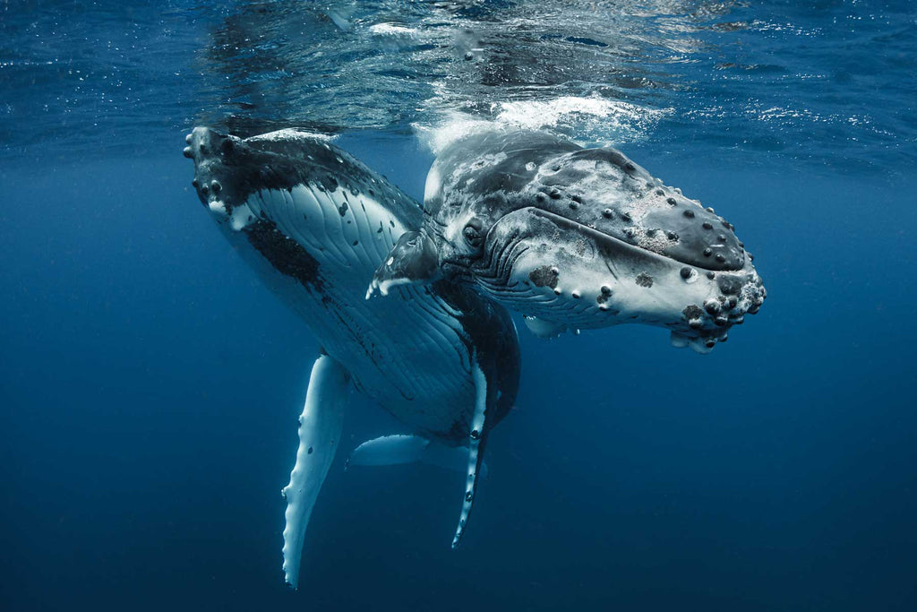 Tonga Humpback Whales Copyright Grant Thomas Ikelite Housing