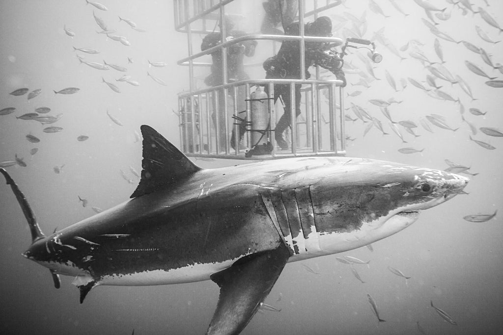Great White Shark Copyright Steve Miller