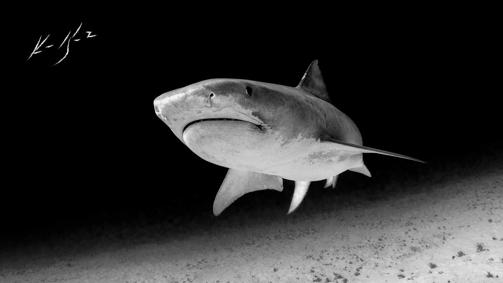Shark Copyright Ken Keifer