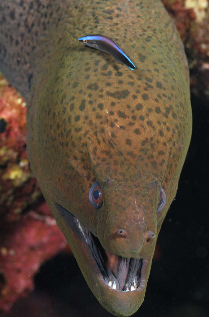 Blackpearl Moray Photo Copyright Laurent Leard in Ikelite Housing