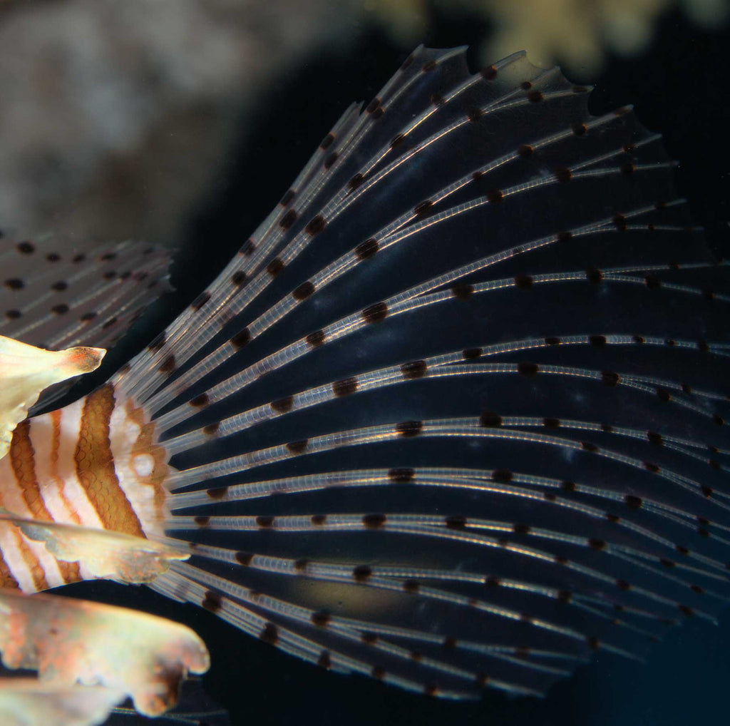Lionfish Tail Photo Copyright Laurent Leard in Ikelite Housing