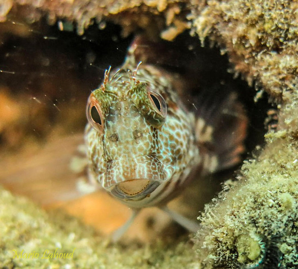 Mario Lahoud Curious Blenny