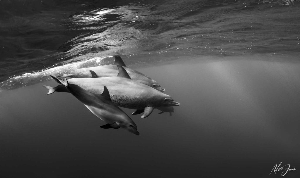 Dolphins in the Red Sea by Matt Jacobs Ikelite Panasonic GH5