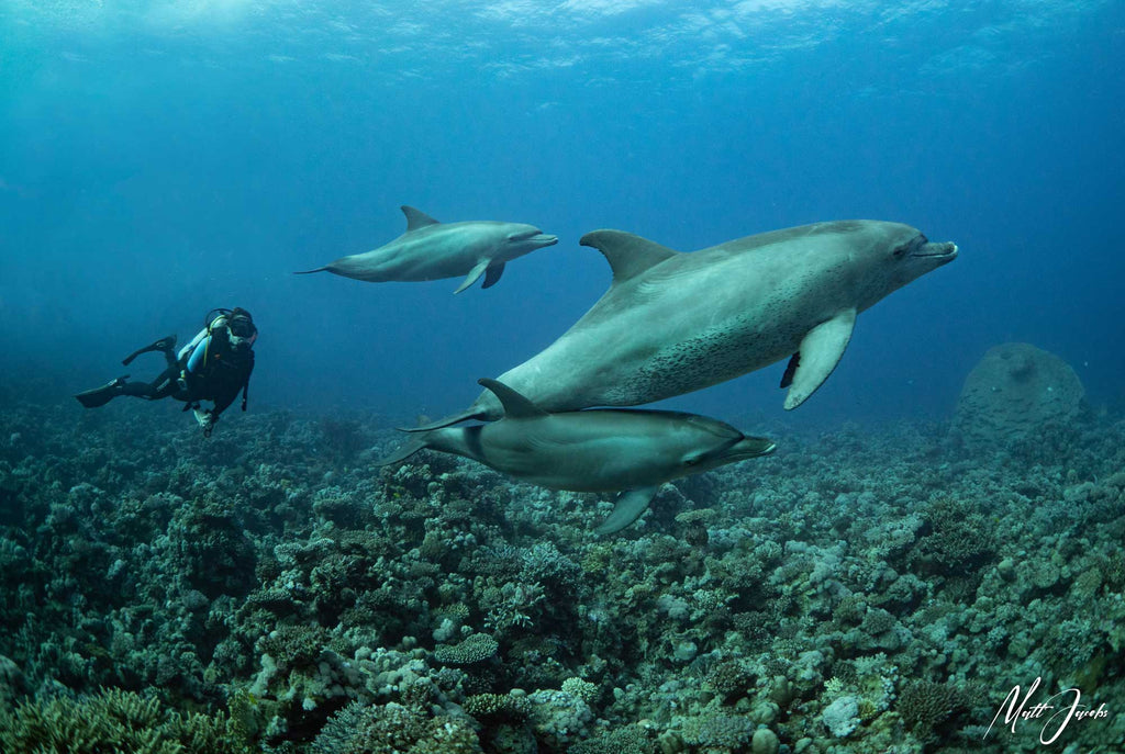 Dolphins in the Red Sea by Matt Jacobs with Ikelite housing for Panasonic GH5