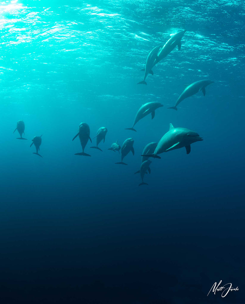 DolphinsDolphins in the Red Sea by Matt Jacobs Ikelite Panasonic GH5
