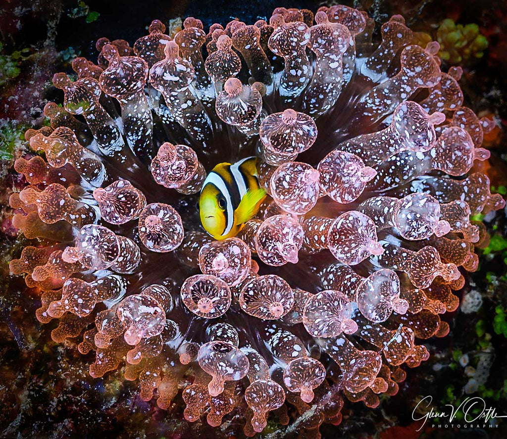 Clownfish Glenn Ostle Nikon Z6 in Ikelite Housing