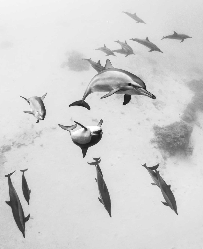 Dolphins in the Red Sea by Steve Miller with Ikelite Underwater Housing