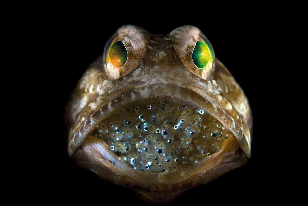 Mouth Brooding Jawfish by Steven Kovacs Ikelite Ambassador