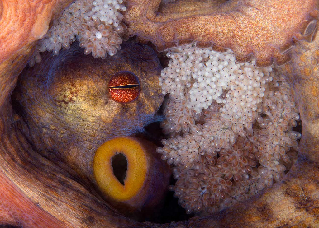 Octopus with Eggs by Steven Kovacs Ikelite Ambassador
